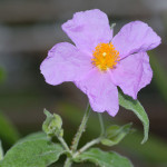 "Cistus incanus - flower top (aka)"" by André Karwath aka Aka - Own work. Licensed under CC BY-SA 2.5 via Wikimedia Commons"