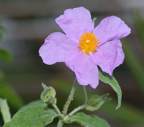 "Cistus incanus - flower top (aka)"" by André Karwath aka Aka - Own work. Licensed under CC BY-SA 2.5 via Wikimedia Commons"