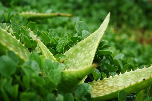 Aloes na suchą skórę